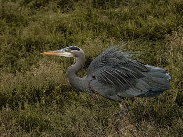 Great Blue Heron fishing by StuartDavie