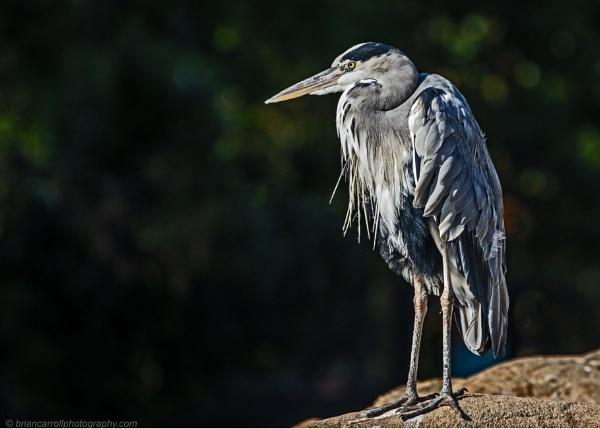 Grey Heron  (Ardea cinerea) by brian17302