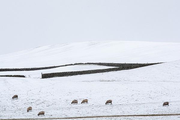 7 Sheep by kaybee
