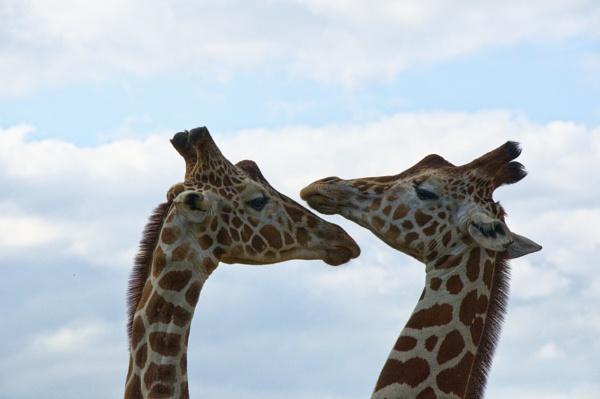 2 Giraffes by mj.king