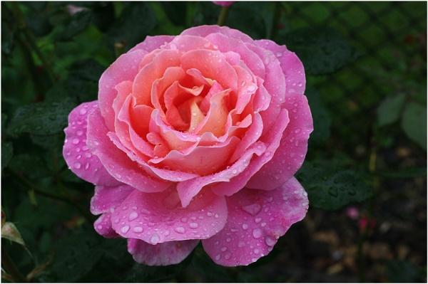 Rose by johnriley1uk