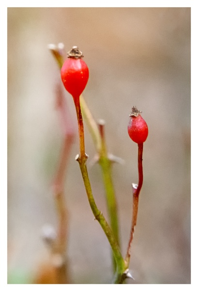 Wild Rose Hips by taggart
