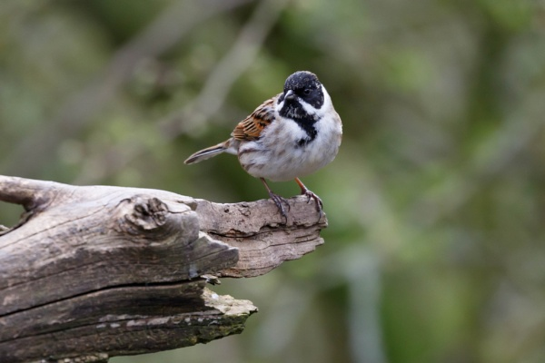 Reed Bunting by nobby1