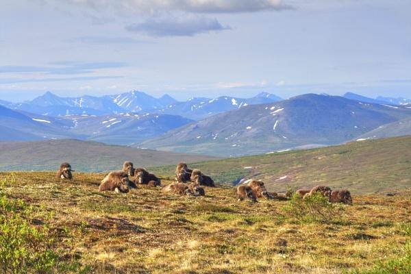 Anvil Mountain Herd Bedded Down by fotolooney