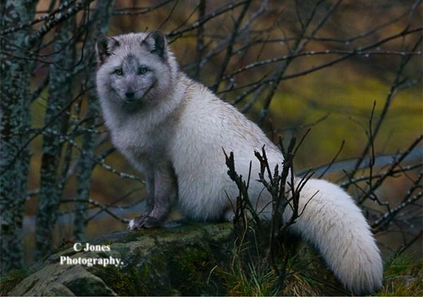 Artic Fox. by cjones