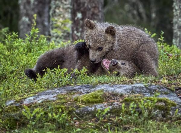Young bears in Ruhtinaansalmi by hannukon