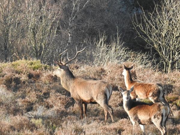 Blacka Moor red deer by Alan26