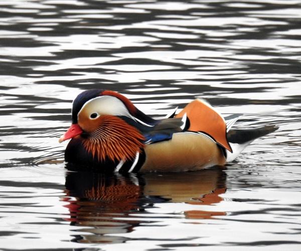 Mandarin duck by Alan26