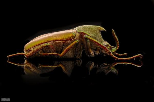 Green Scarab Beetle (Theodosia maindoroni) by LighthousePhotography