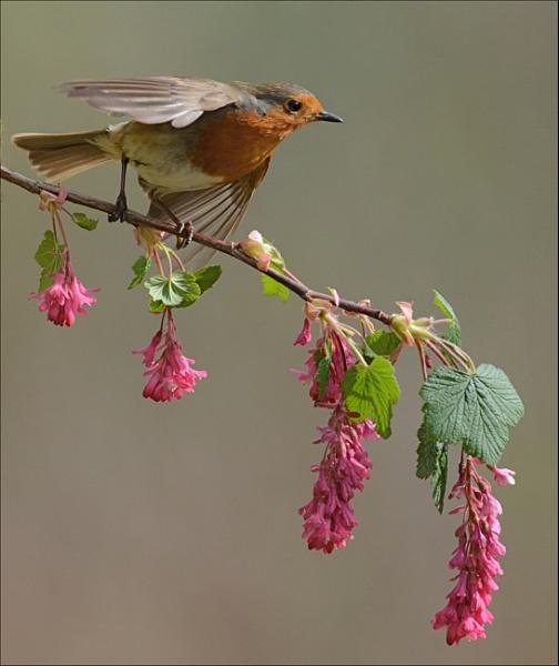 Robin on Flowering currants by nicholl