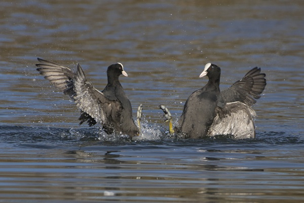 Fighting Coots by PGibbings