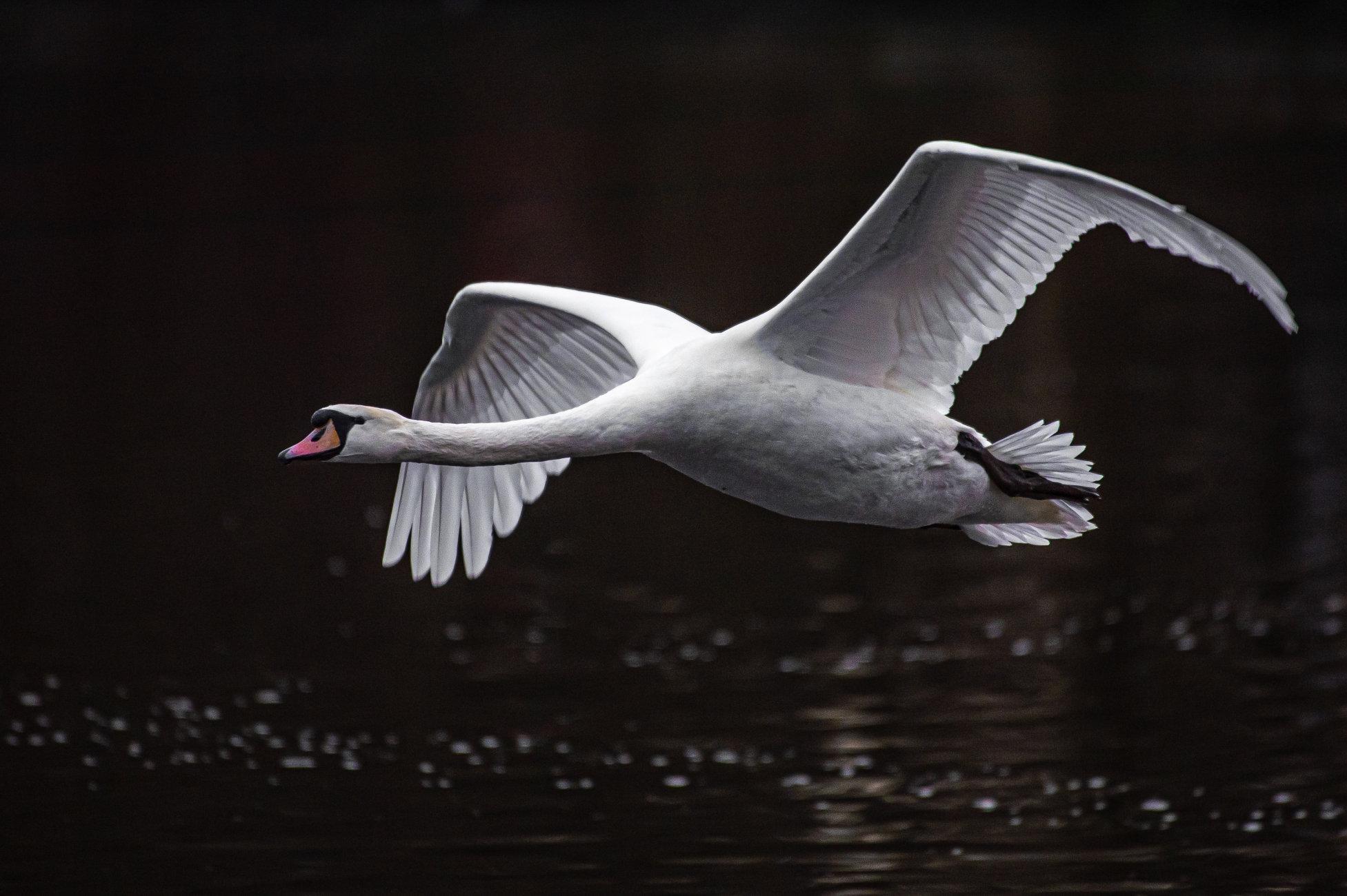 Swan Coming
