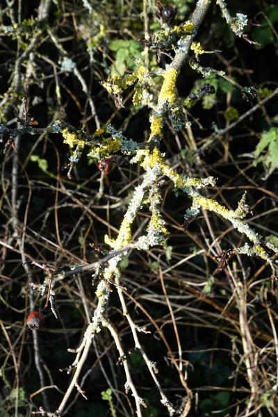 Hedgerow Lichen by johnwnjr