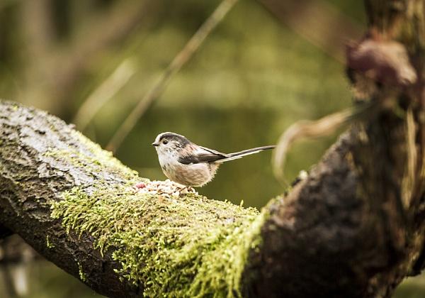 Long tailed tit    Aegithalos caudatus by phil87