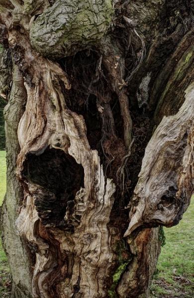 Ancient Oak by nclark