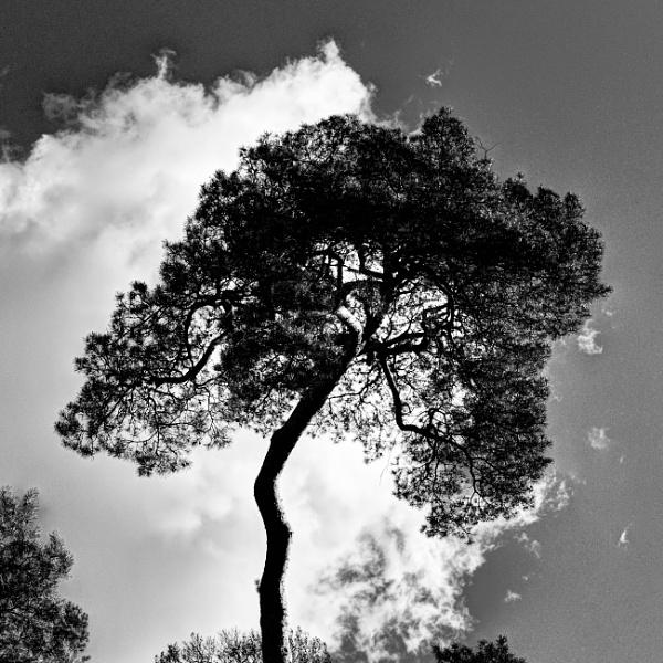 Pine by nclark