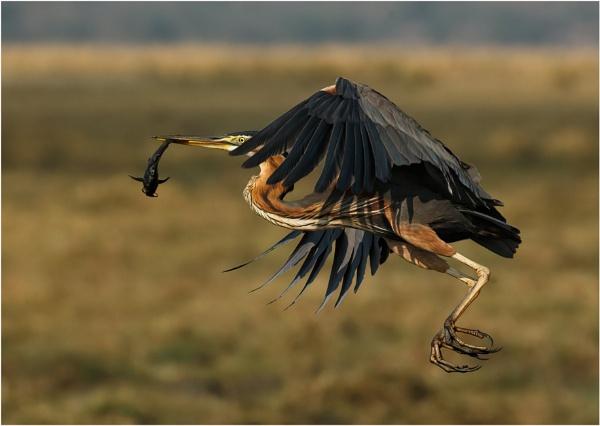 Purple Heron taking flight by mjparmy