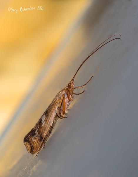 limnephilus lunatus by djgaryrichardson