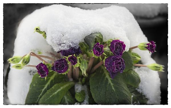 Primrose with snow by Irishkate