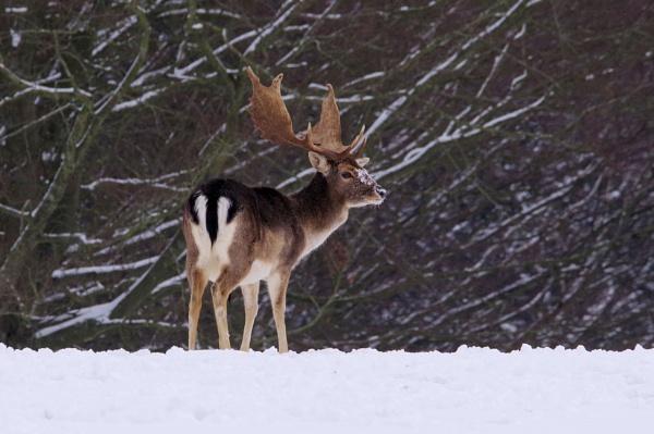Sika deer Stag by joeblade