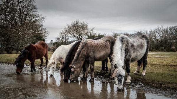 Dartmoor Ponies by topsyrm