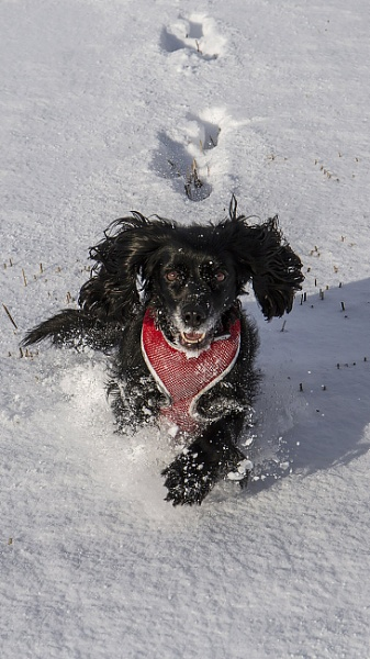 Skye frolicking in the snow by AnnJ
