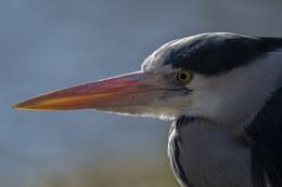 Grey Heron up close