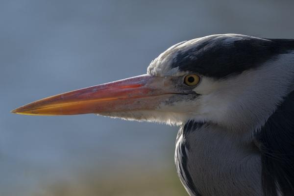 Grey Heron up close by clive burrow