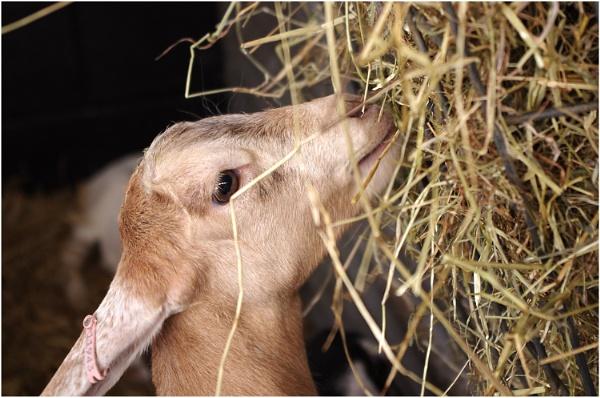 Goat by johnriley1uk