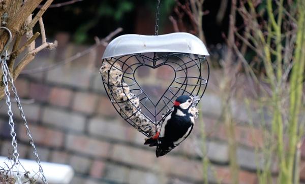 woodpecker by kermode111