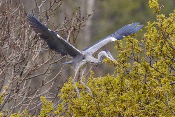 Heron by nobby1