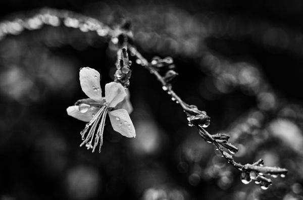 A Flower in the Rain by BobinAus