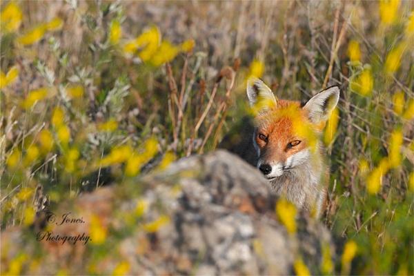 Mrs Fox. by cjones