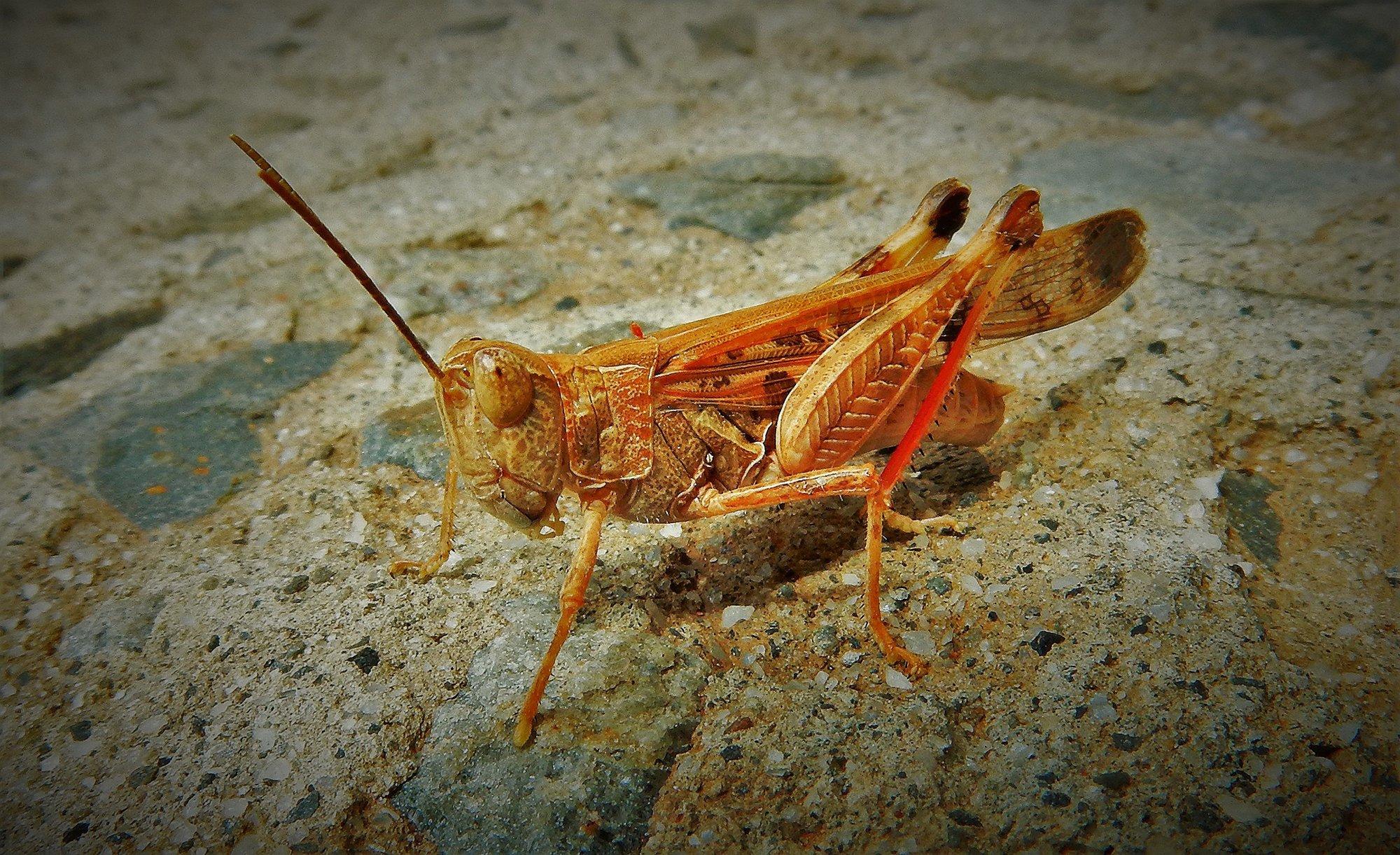 """Locust or Grasshopper """