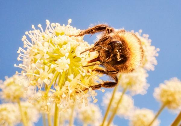 Bumblebee in Espoo by hannukon