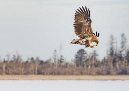 Eagle's breakfast