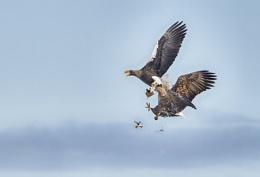 Eagles in Nemuro
