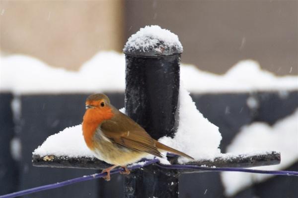 # Robin in the snow by davyskid