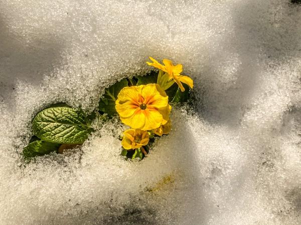 Primula in the Snow. by Pinarellopete