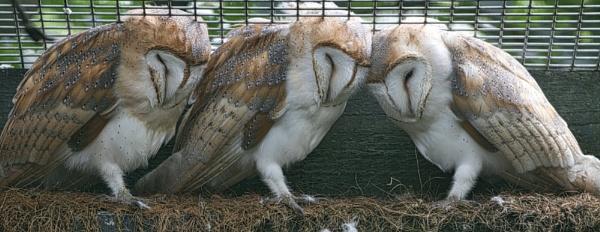 3 Sleepy Owls. by Adrian57