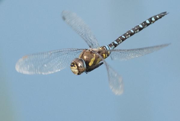 Migrant Hawker in flight by nicholl