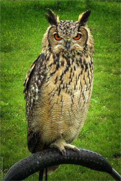 Long Eared Owl by blrphotos