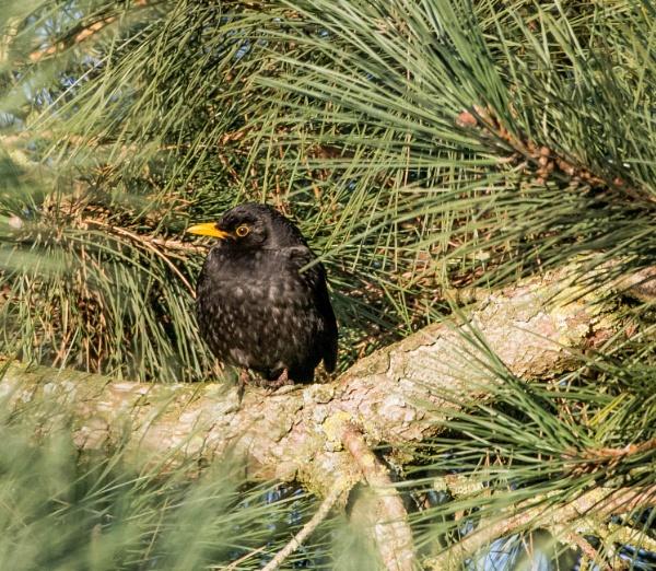 winter blackbird by madbob