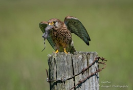 Female Kestrel with mouse