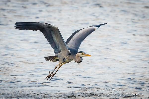 Grey Heron by running_man