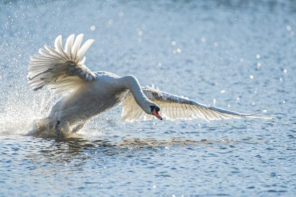 Swan Charge by chensuriashi