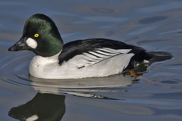 Close-up to a male Goldeneye by johnsd