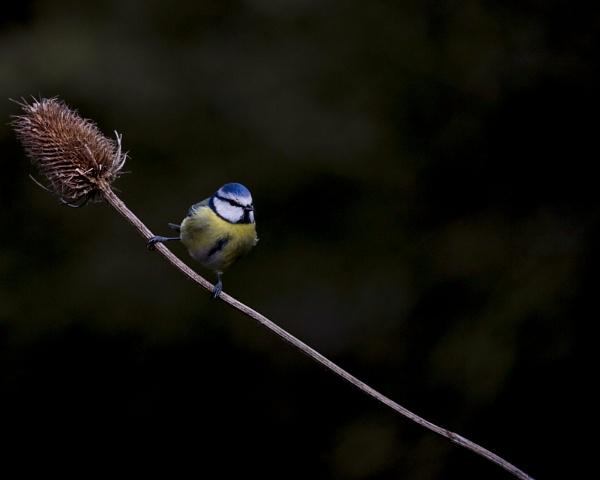Blue tit by phil87