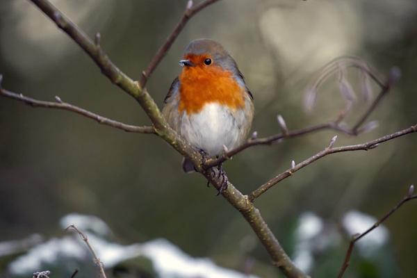 European Robin by phil87