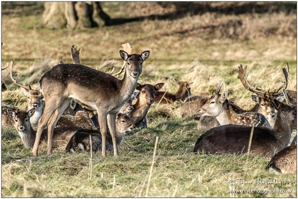 Oh deer... by TrevBatWCC
